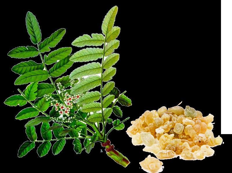 Boswellia serrata má podobné účinky jako Aspirin, ale bez vedlejších účinků.
