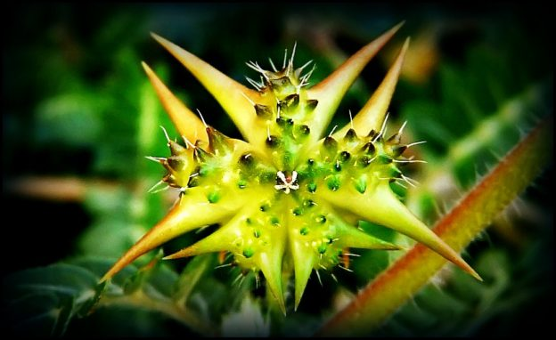 Tribulus se dá velice dobře pěstovat v domácích podmínkách