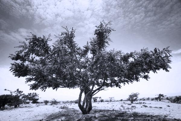 Strom Boswellia serrata produkuje léčivé kyseliny boswelové